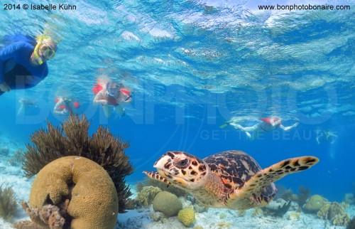 Seacow-snorkel-bonaire-10