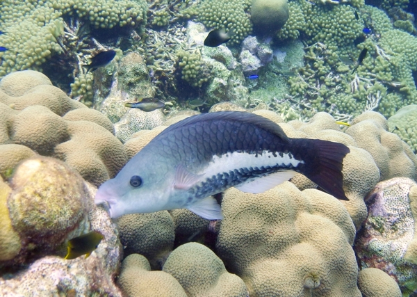 Queen Parrotfish IP_ scarus vetula