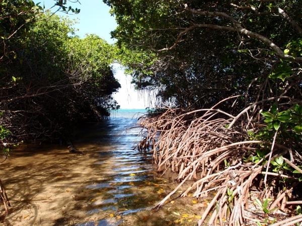 Mangrove Lac compr 1