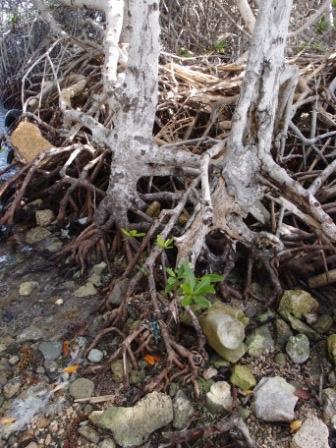 mangrove Lac compr 2