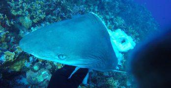 Experts bespreken het beheer van haaien in Caribisch Nederland