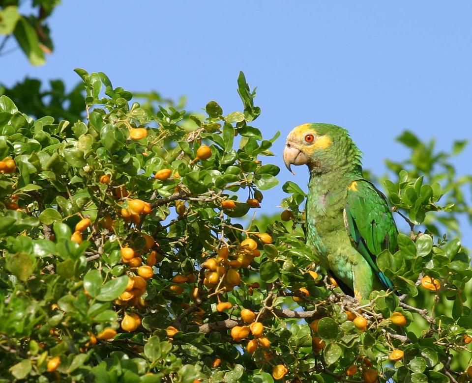 Bonaire telt 995 lora's