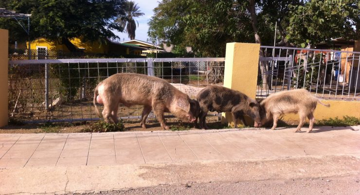 Echo vangt wilde varkens omgeving Rincon