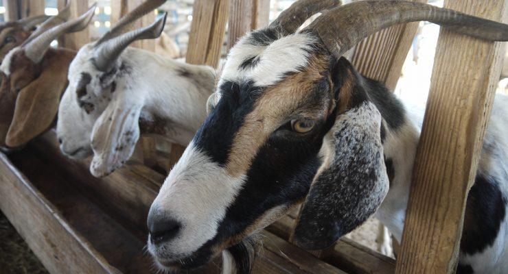Cursus geiten- en schapenhouderij, van POP Bonaire en KRIABON