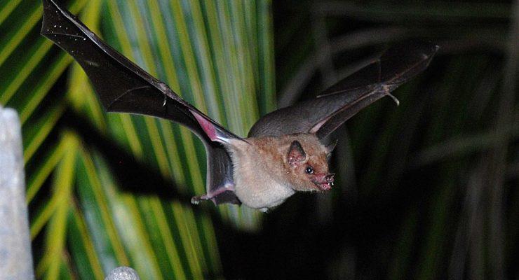 STINAPA organiseert weer een avond over vleermuizen
