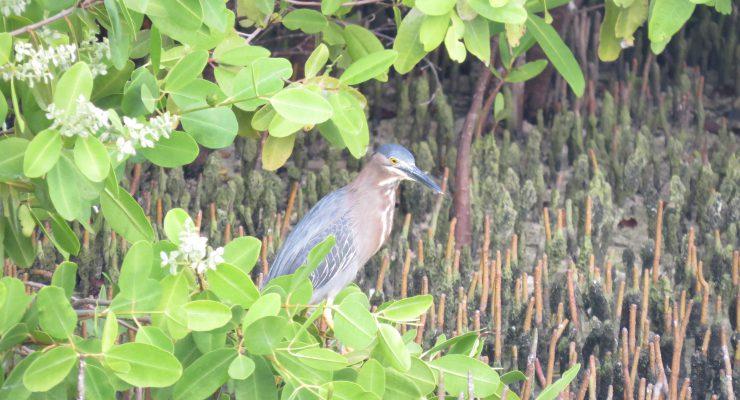 Ga mee vogels kijken met STINAPA