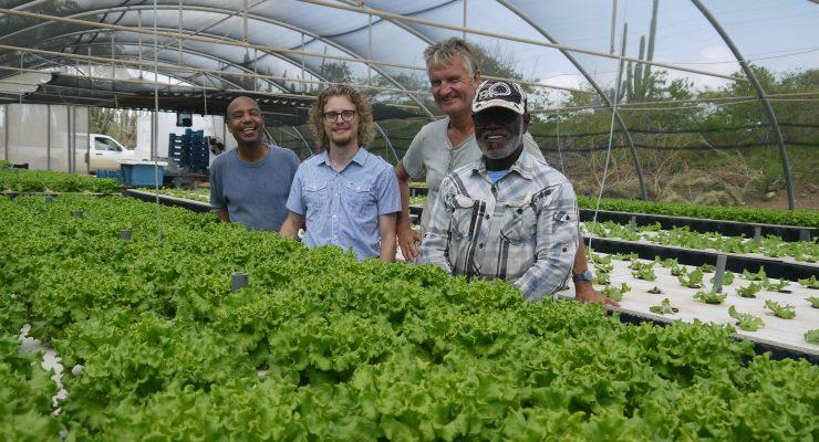 Sla kweken op Bonaire