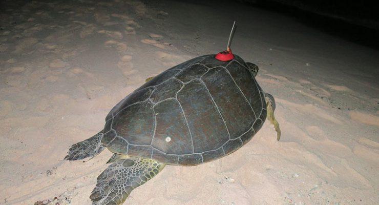 Getagde zeeschildpad 'Bonni' is vertrokken van Bonaire