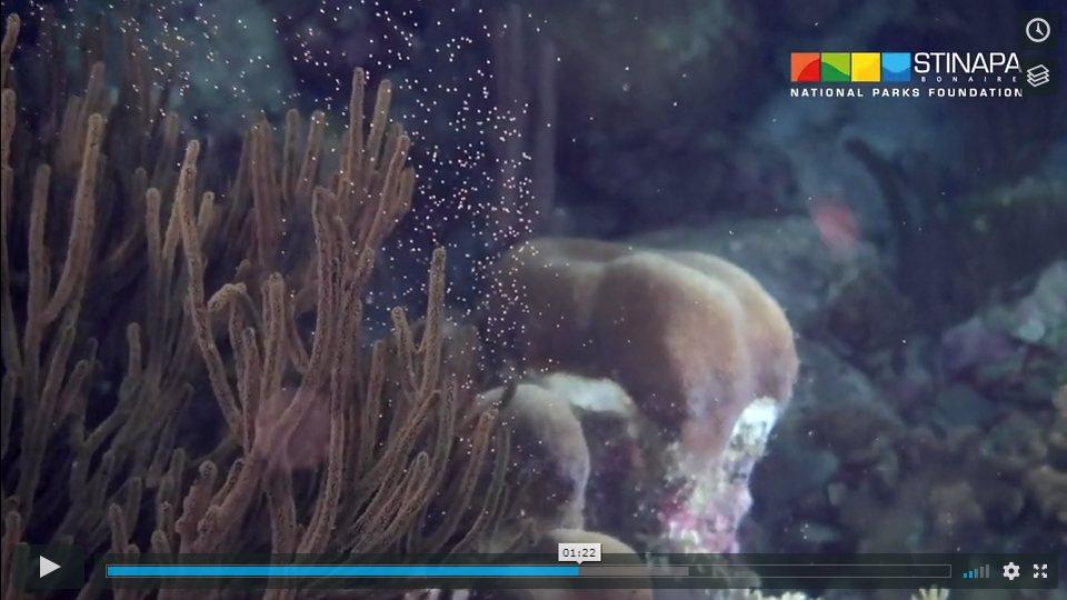 Koraal reproductie, een magische nacht op het rif van Bonaire – Vastgelegd op film