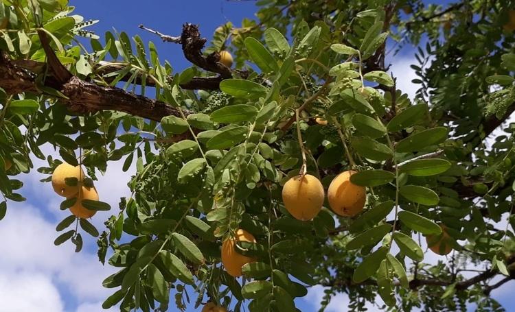 Bomen van Bonaire: Palu di Taki (Geoffroea Spinosa)
