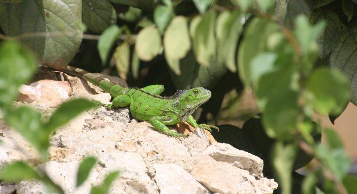 iguana bonaire