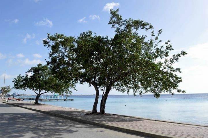 Bomen van Bonaire: Mangel Blanku (Cono Carpus Erectus)