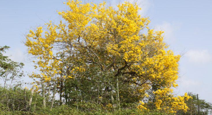 Bomen van Bonaire: Kibrahacha (Tabebuia billbergii)
