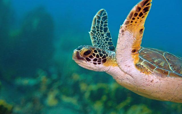 Aantallen groene zeeschildpadden en karetschildpadden westkust Bonaire stabiel