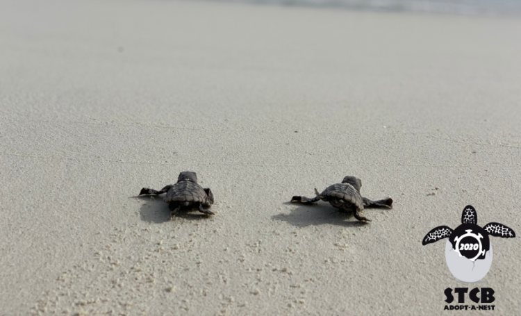 STCB telde 113 zeeschildpaddennesten rond Bonaire en Klein Bonaire in 2020