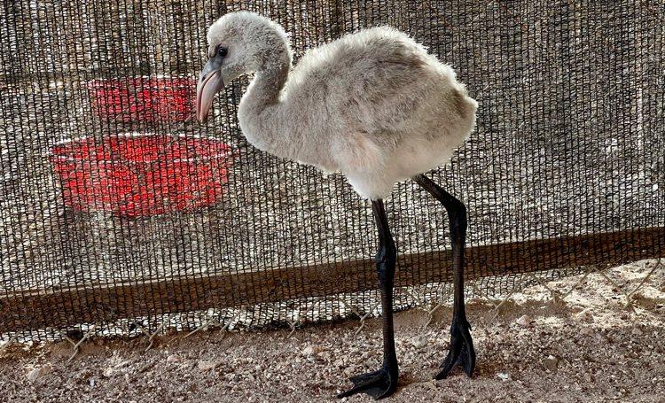 Eerste baby flamingo van dit seizoen naar de opvang