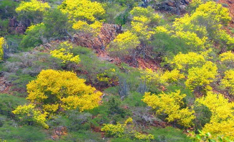 Kibrahacha in bloei in het Washington Slagbaai Park