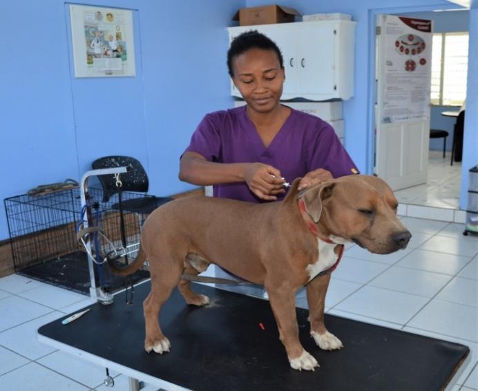 Dierenkliniek op Sint-Eustatius blijft honden chippen