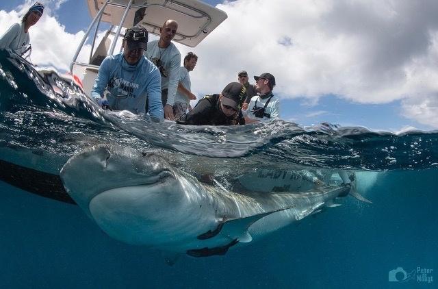 Haaienonderzoek rondom Sint-Maarten
