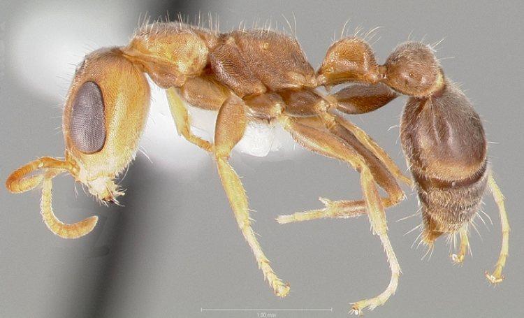 Biologen vinden nieuwe miersoorten op de eilanden in het Koninkrijk