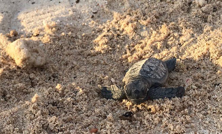 Drie zeeschildpadden nesten op strand van Harbour Village Resort