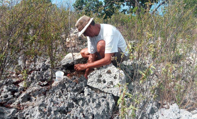 500 Sabal palmen op Klein Bonaire